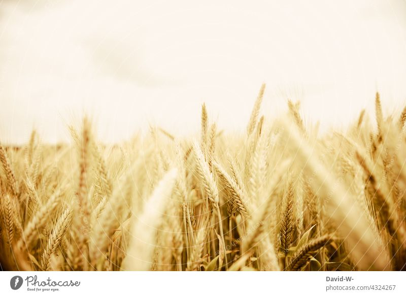 Rye field - Rye in sunlight food Ear of corn Cornfield Agriculture Field Growth Grain Harvest golden Agricultural crop Food