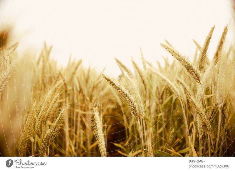 golden wheat field Wheatfield Gold food food products Cornfield Grain Grain field Agriculture