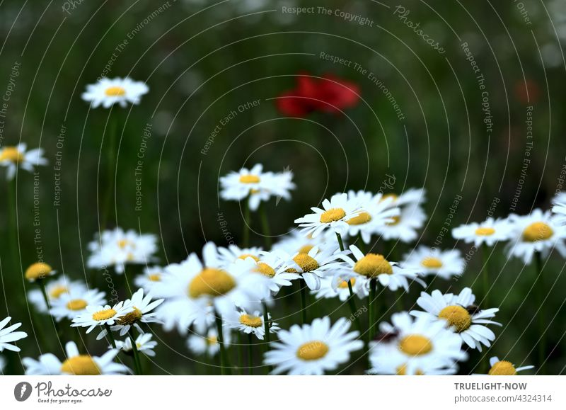 Bright white-yellow daisies have pushed themselves into the foreground, leaving little chance for the red poppy in the blurred somewhat dusky green background