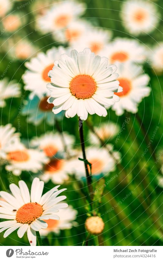 Leucanthemum flowers blooming in a meadow outdoor plant ornamental plant leucanthemum white spring nature daisies summer flora botany garden asteraceae blossom
