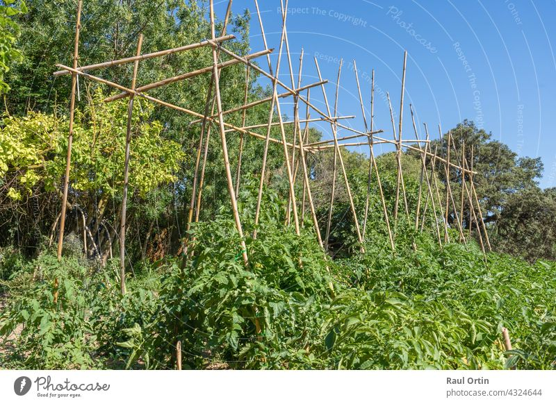 Tomato plants growing in vegetables garden. tomatoes field ripening food agriculture growth gardening greenhouse bunch healthy cherry nature closeup farm