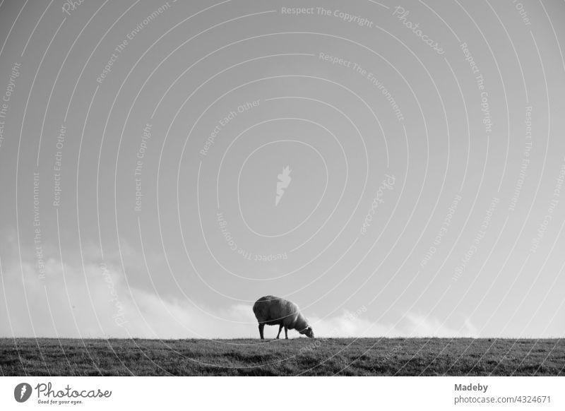 Lonely sheep in autumn on the dike in Bensersiel near Esens in East Frisia in Lower Saxony, photographed in neo-realistic black and white Sheep Animal