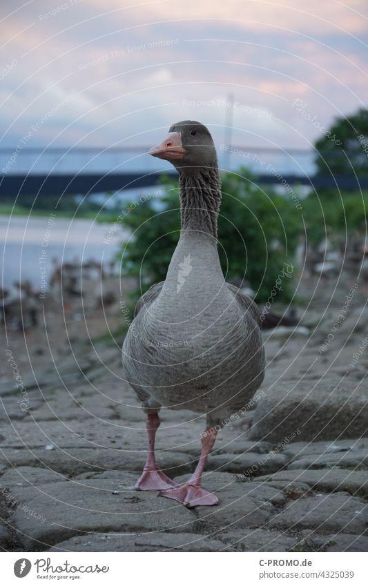 wild goose Wild goose bank Town evening sky Bridge portrait Bird Walking Wild animal Beak plumage