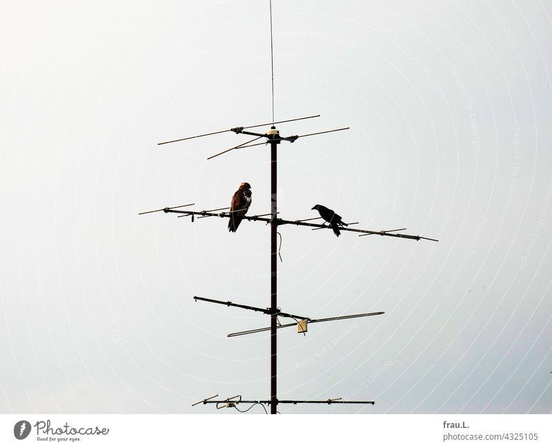 Bugger off! bird of prey Crow courageous Bird of prey Sky Raven birds Antenna vindicate Sit peril Common buzzard