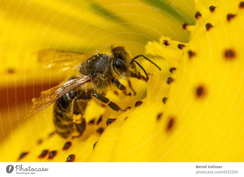 Bee collects nectar on lily Honey bee yellow lily Lily blossom flower Insect