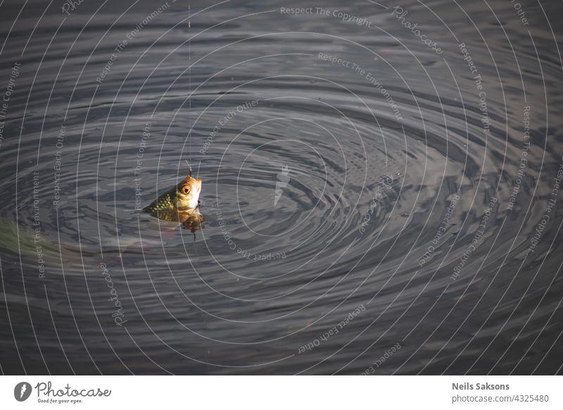 Close up single common rudd fish on hook. Fishing with fishing rod. wavy water in summer evening, no one around angler animal autumn bait beach bird bite boat