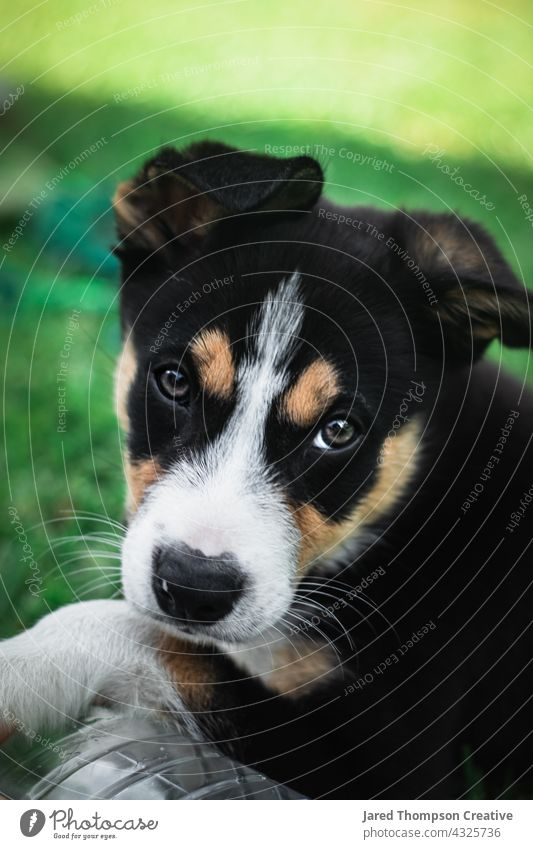 A tricolour (black, white and brown) border collie puppy playing in the backyard. dog australia puppies dogs pet pets animal animals Animal portrait Nature Day