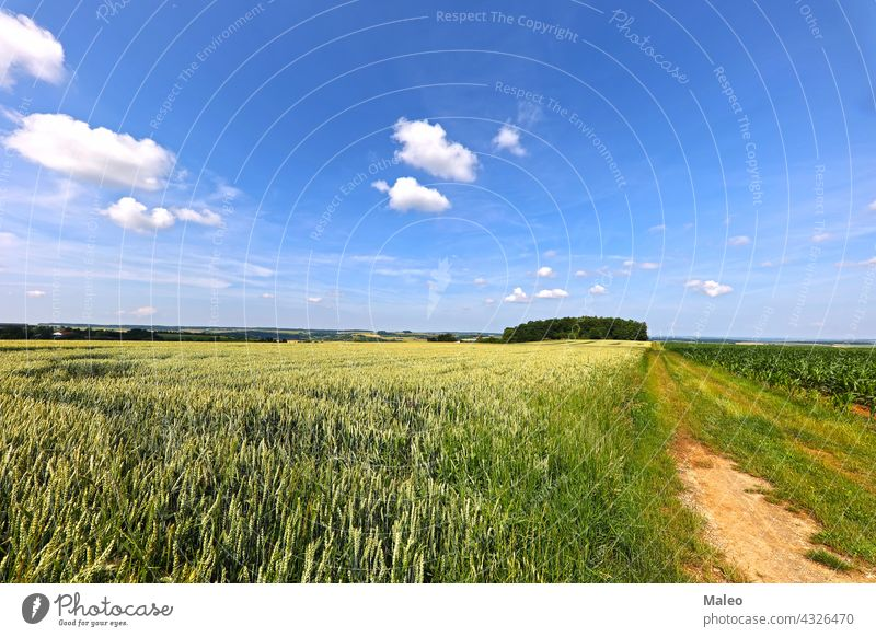 Wheat fields in summer early July in Germany farm grain harvest july landscape wheat background golden light nature reap yellow tree agriculture morning rural