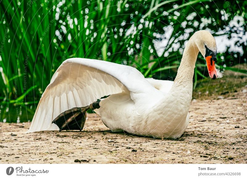 A swan stretching its wing while sitting in the sand in front of the green shore vegetation Swan Grand piano Stretching Legs Bird Feather Water Wild animal