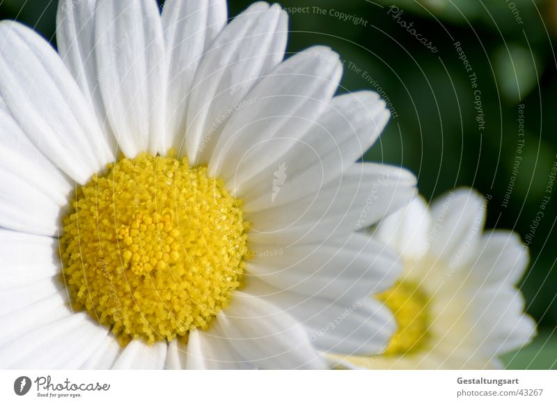 White Sun Flower Plant Summer Yellow Blossom Spring Blossoming Marguerite Meadow flower