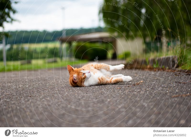 Beautiful domestic ginger cat relaxing on the asphalt pavement daytime no people nature in the background shallow depth of field alone pretty rest curiosity