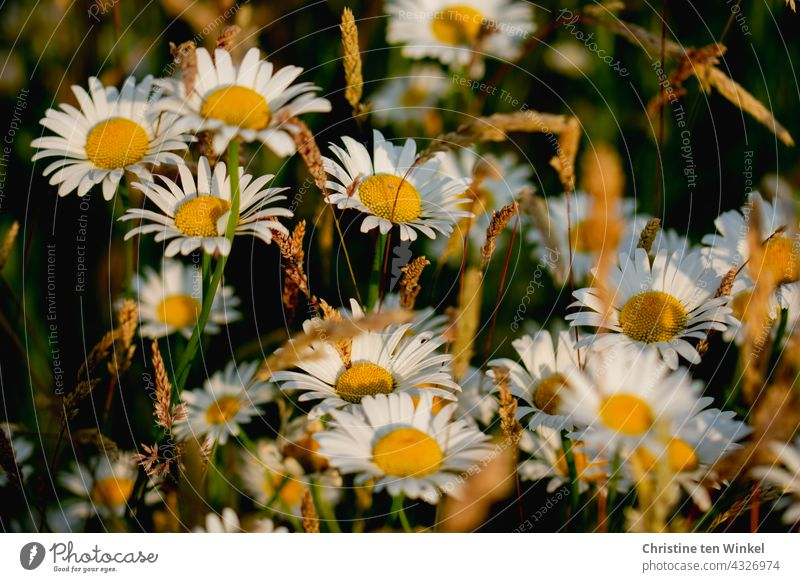 Marguerites and grasses in the soft evening light marguerites daisy meadow Meadow wild flowers wildflower meadow Nature Summer Blossoming pretty beautifully