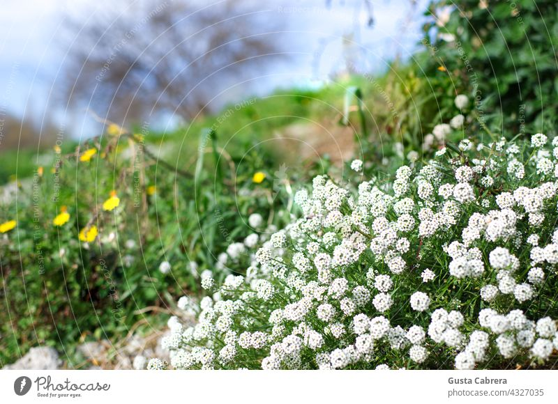 Natural landscape with many white flowers and a few yellow ones. Flower Flowers and plants Landscape outdoors Nature Plant Garden Colour photo Exterior shot Day