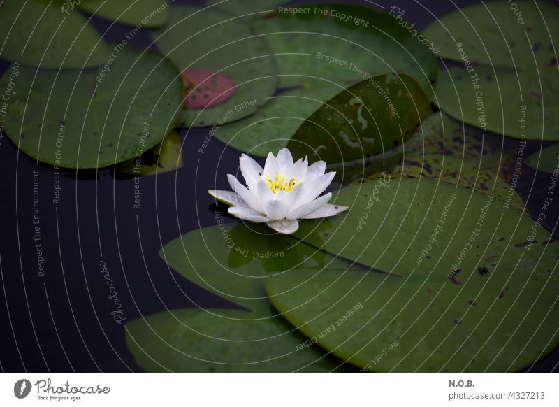 water lily Water Lily Water lily Blossom water lily blossom tranquillity Calm silent Loneliness Lonely on one's own by oneself Plant Nature Exterior shot Lake