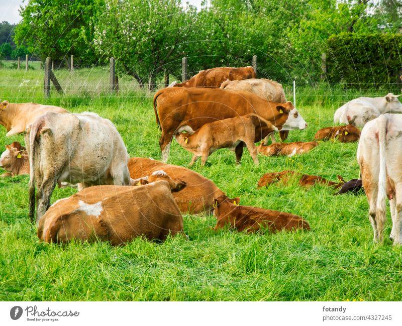 Cow with suckling calf Bauernhof Brandenburg Deutschland Feld Gras Kalb Kuh Kälber Landschaft Landwirtschaft Damm Natur Nutztiere Rinder Sommer Säugetier Tier