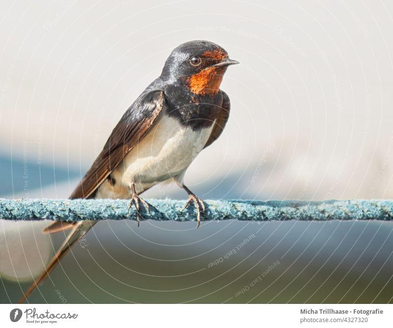 Barn swallow on a rope Swallow rustic hirundo Wild bird Bird Animal face Beak Eyes plumage feathers Grand piano Head Legs Claw Rope Dew Wild animal Nature