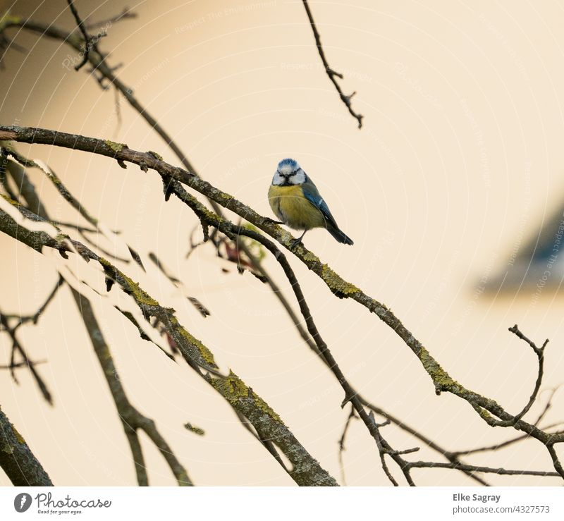 Blue Tit in Tree Bird Tit mouse Nature Environment Animal portrait Deserted Shallow depth of field Copy Space right