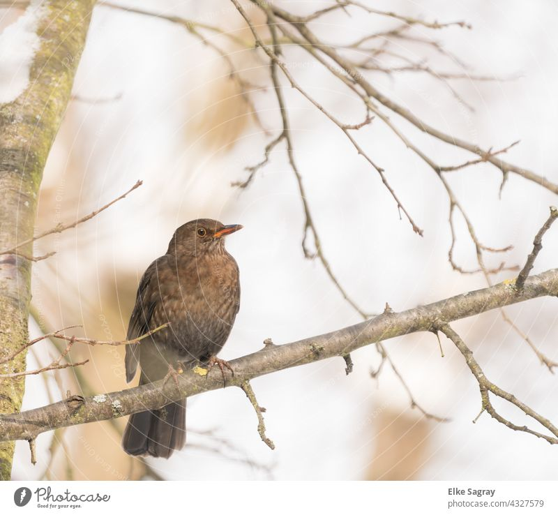 Bird photography thrush looking on a branch Nature Tree Branch Exterior shot Day Deserted Colour photo Sit Plant Wild animal Copy Space top