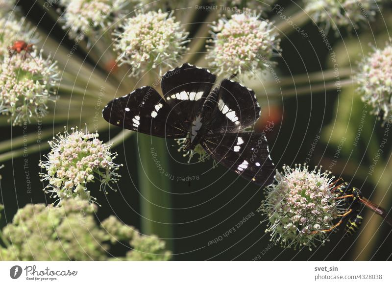 Araschnia levana, Map, Map Butterfly. Angelica sylvestris, Wild Angelica, Woodland Angelica. A black butterfly is sitting on a white flower of an umbrella plant. Butterfly flower close-up outdoors.