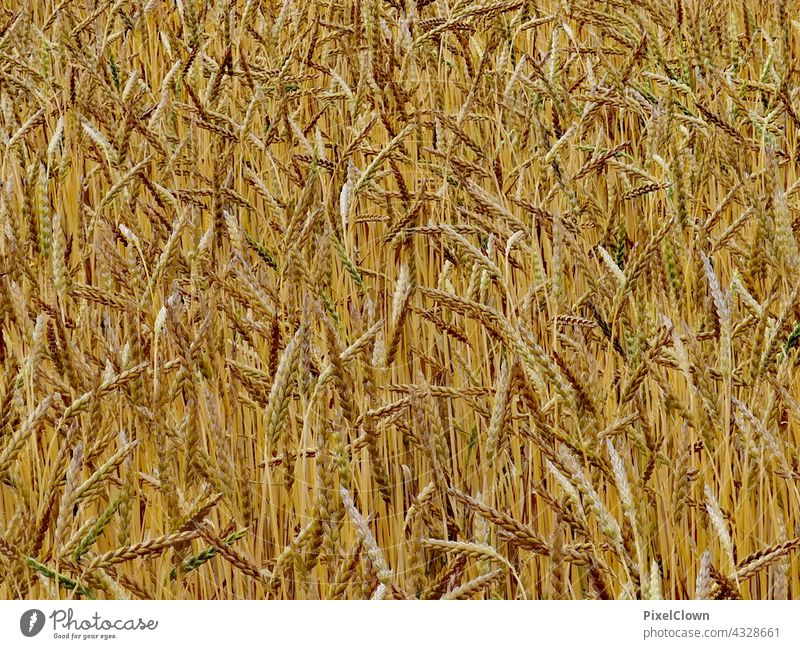 cereals Grain Ear of corn Plant Grain field Nature Agriculture Cornfield Food Agricultural crop Field Summer Deserted