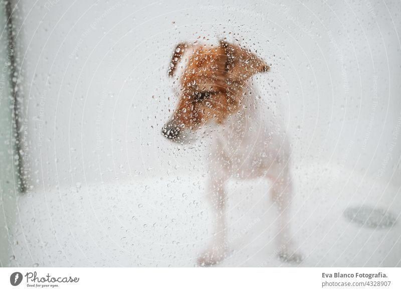 cute wet jack russell dog standing in shower ready for bath time. Selective Focus on water drops on glass. Pets indoors at home wash clean beautiful bathe