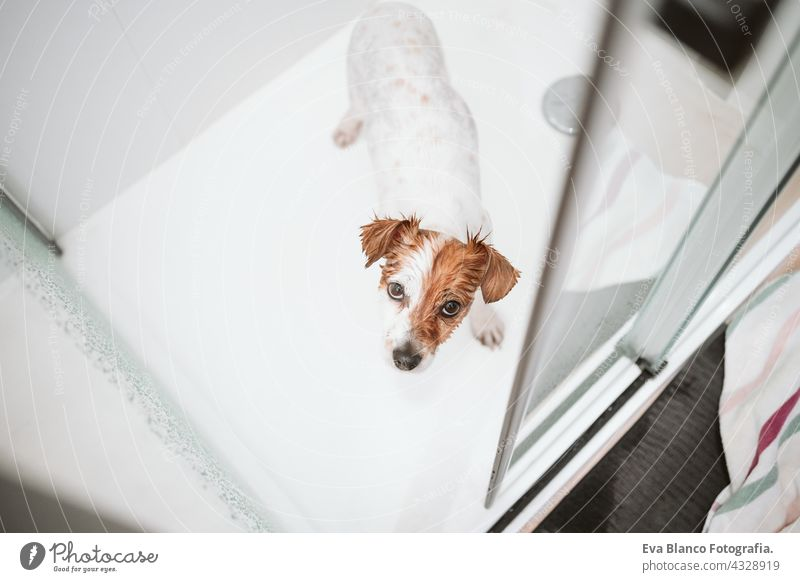 top view of cute wet jack russell dog standing in shower ready for bath time. Pets indoors at home drops water wash clean beautiful bathe health soap dry