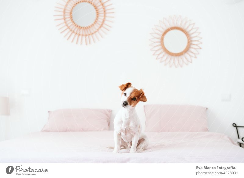 cute lovely small jack russell dog sitting on bed during daytime. Pets indoors at home resting sleeping tired inside hiding recovery cozy domestic wake up funny