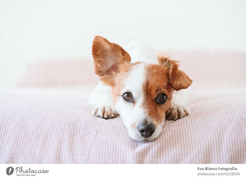 close up of cute lovely small jack russell dog resting on bed during daytime. Funny ear up. Pets indoors at home sleeping tired inside hiding recovery cozy