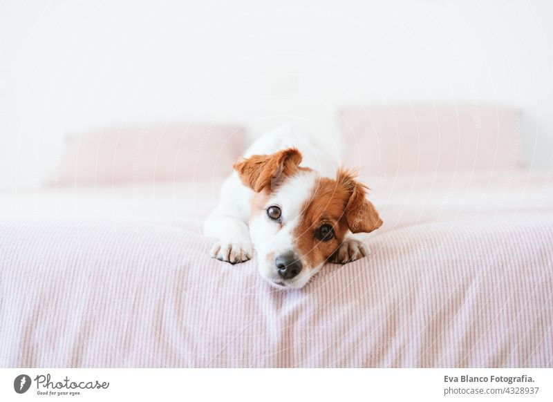 close up of cute lovely small jack russell dog resting on bed during daytime. Pets indoors at home sleeping tired inside hiding recovery cozy domestic wake up