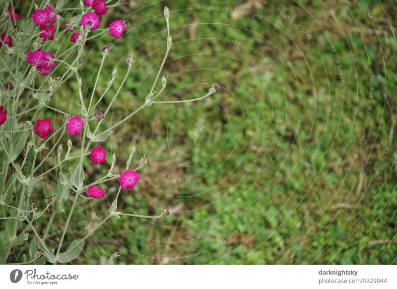 Strongly shining crown light carnation in a garden with meadow (Silene coronaria) Crowned Carnation cloves Blossom Colour photo Deserted White campion