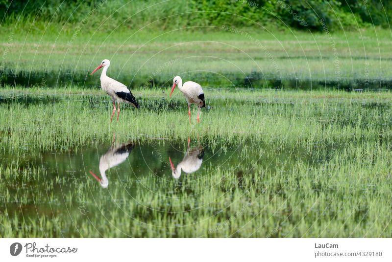 Reflection of two storks in Tegeler Fließ Stork Storks Stork pair reflection Mirror image Reflection in the water Water reflection Nature Calm Idyll Lake