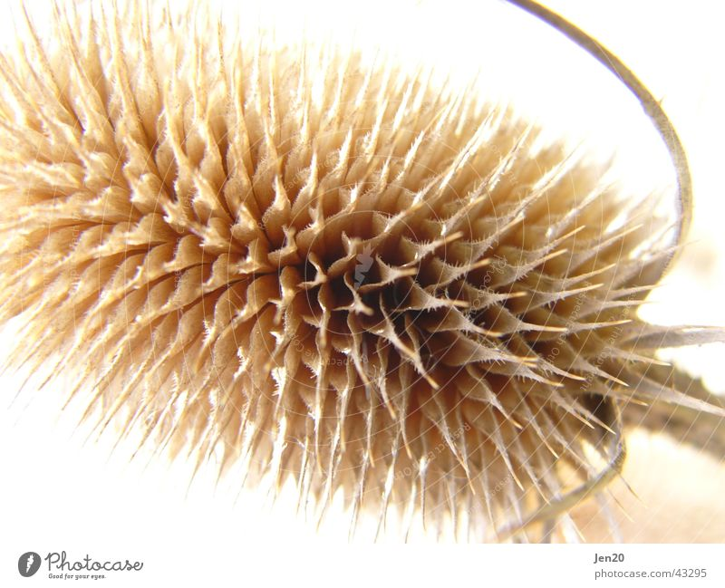 thistle Thistle Plant Structures and shapes Detail Point Nature
