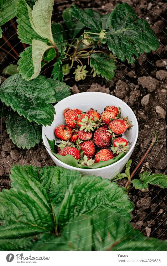 Sweet juicy fresh strawberries in a white bowl on a background of green leaves. Organic farmers food. Seasonal antioxidant and detox nutrient. Dieting cholesterol-free, low-calorie food. Vertical shot