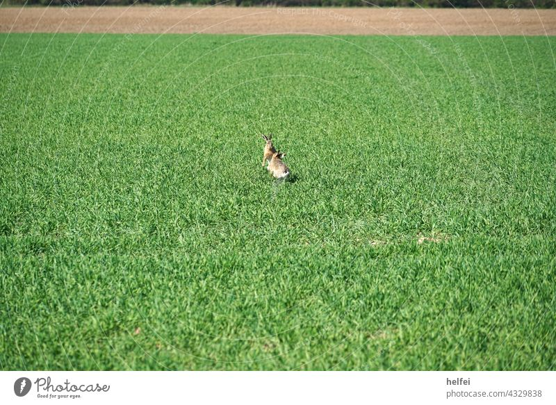 Wild hares fighting for territory in spring in a field rabbit turf war Hare & Rabbit & Bunny Field Exterior shot swift Rodent European hare Animal Colour photo