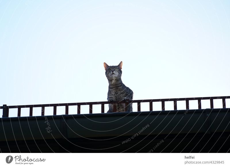 Cat on the roof of the house, also called roof rabbit with view into the distance Dachhase pets house roof outlook Looking Far-off places look into the camera