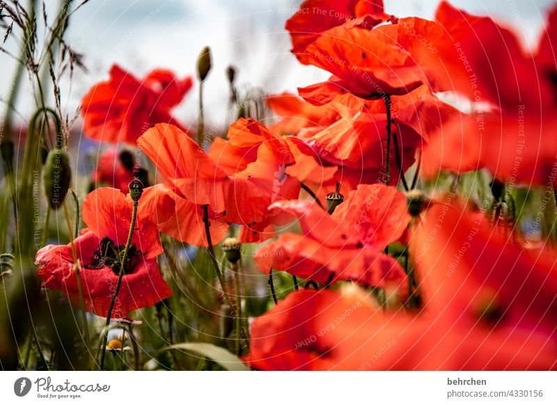 when the mo(h)ntag bangs in! poppy flower blurriness Leaf Blossoming Beautiful weather Meadow Garden pollen luminescent Exterior shot Poppy field Colour photo