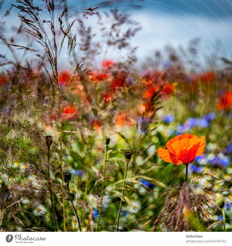 because monday is mo(h)nday Sky Clouds cornflowers grasses blossom Blossom Field Blossom leave Green Wild plant Plant Fragrance Nature fragrant Pollen poppies