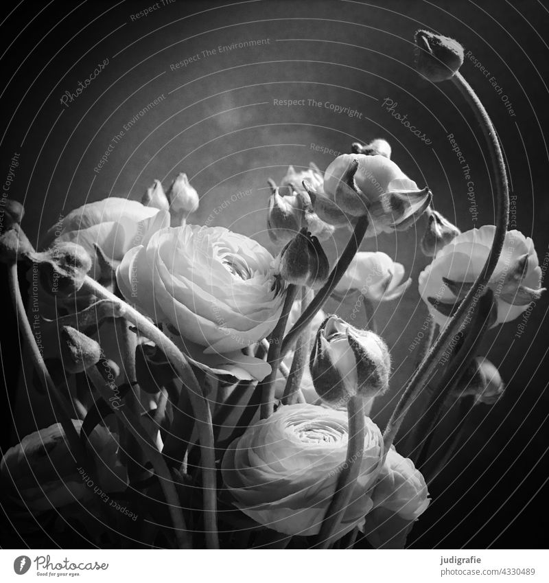 Ranunculus square Asiatic buttercup Flower Blossom Bouquet bud Black & white photo Delicate Buttercup Plant Spring Blossom leave Blossoming