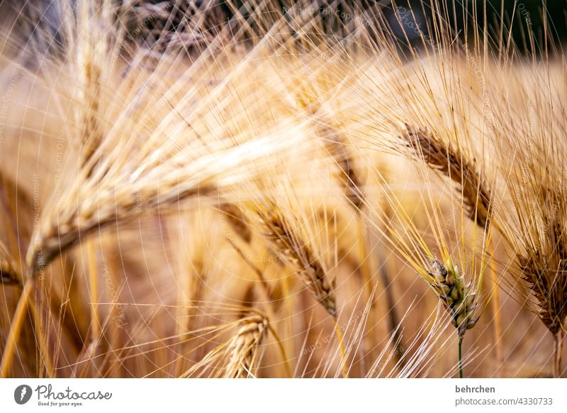 hairy Field Grain Oats Wheat Rye Barley Grain field Summer Agriculture Ear of corn Nature Cornfield Food Deserted Landscape Environment Agricultural crop Plant