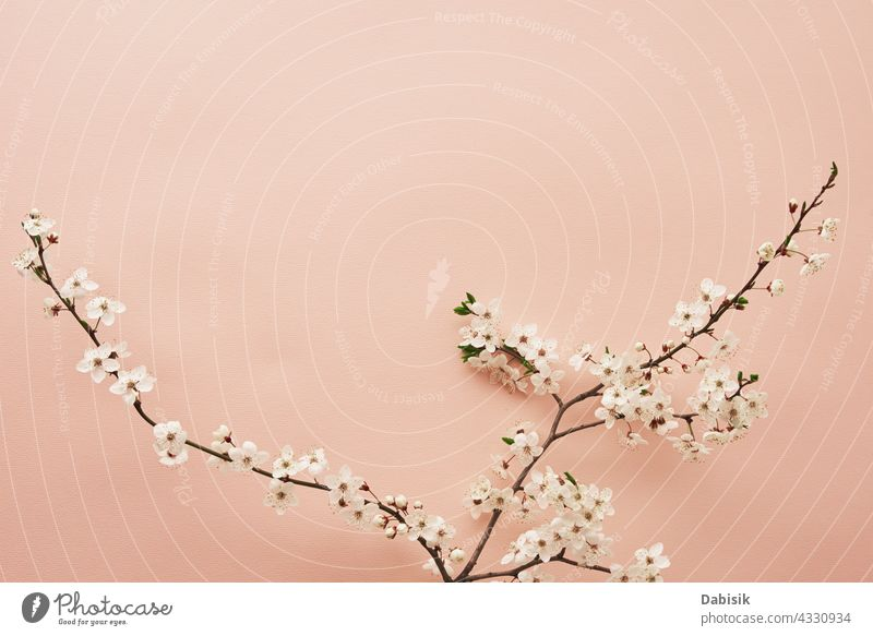 Blooming tree branch on pink background plant flower blooming minimal scene design leaves pastel banner fashion space creative bright composition blossom