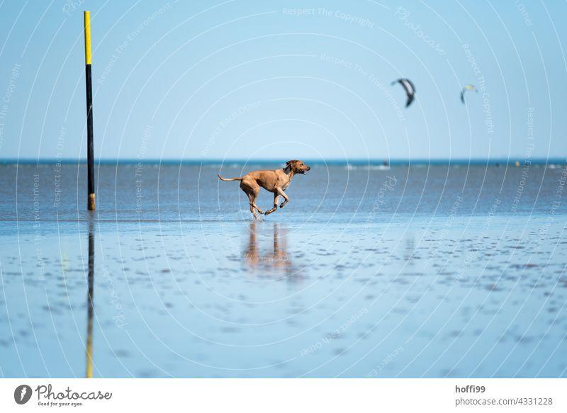 the dog runs through the mudflats at low tide Dog Beach Purebred Animal portrait Walk along the tideland Mud flats North Sea Movement Running 1 Joy