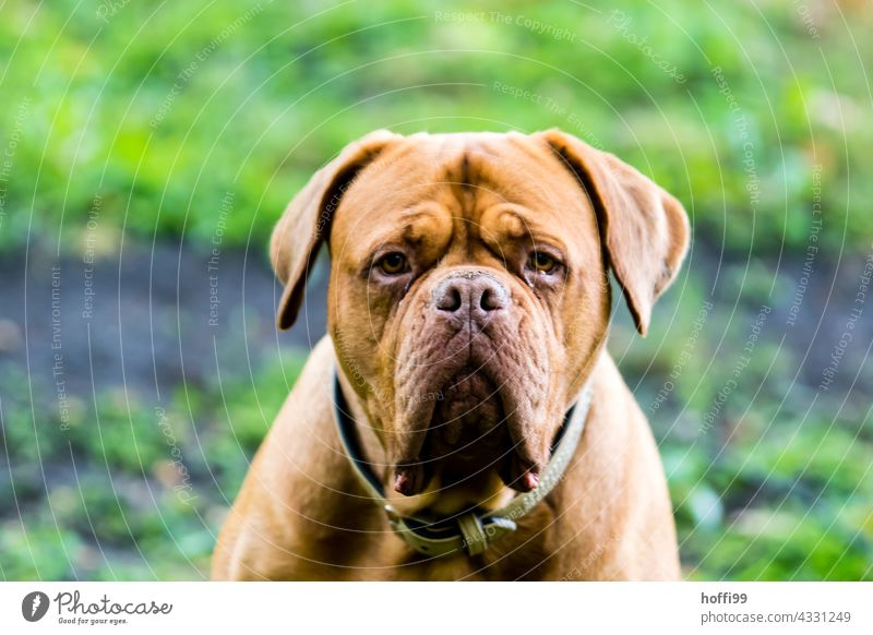 the dog looks grimly / sadly into the camera Dog Puppydog eyes Dog's snout Sit Looking into the camera Animal face Dog's head Watchdog Dog eyes Watchfulness