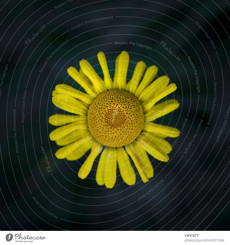 yellow basket flower of dyer's chamomile from bird's eye view, against black background Flower Yellow Blossom Contrast Dyer's camomile Macro (Extreme close-up)