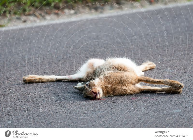 A dead rabbit hit by a car lies in the middle of a country road streets animal world run sb./sth. over wild rabbits Hare & Rabbit & Bunny Exterior shot Animal