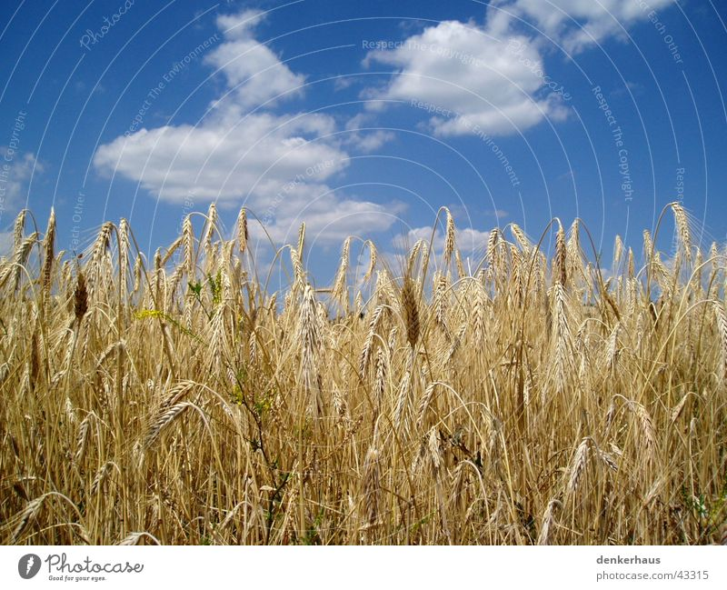 Barley in front of a blue sky Yellow Clouds Near Sky Blue Grain Landscape