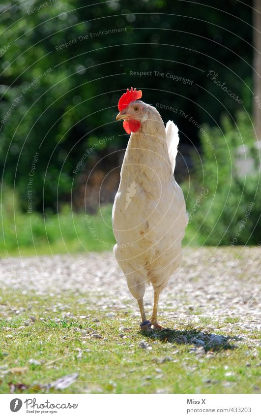 White Agriculture Curiosity Farm Organic produce Meat Livestock breeding Barn fowl Rooster Poultry Gamefowl Keeping of animals Free-roaming Cockscomb Swagger