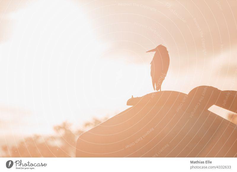 Grey heron enjoying the evening sun and keeping a lookout Animal portrait Heron Evening sun Sunset evening mood fauna telephoto Bird Ardea cinerea Beak