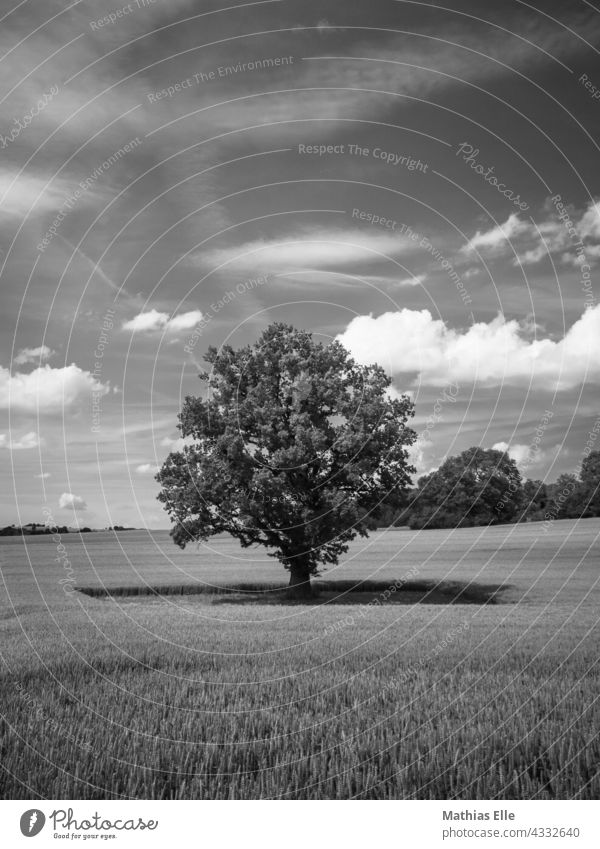 Single tree in the middle of a wheat field Organic farming ecology Agricultural sector agriculturally arable farming acre arable crops Panorama (View) trees