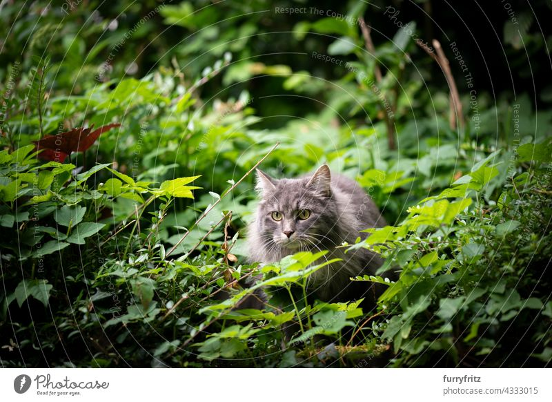 gray cat outdoors in green bushes observing free roaming nature garden front or backyard foliage longhair cat maine coon cat blue tabby feline fur fluffy