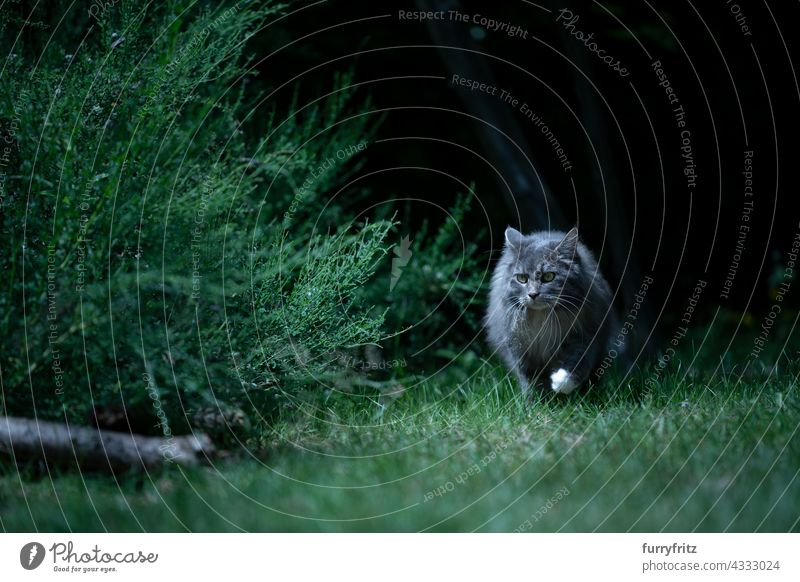 gray longhair cat on the prowl walking on meadow at night outdoors nature green pets free roaming maine coon cat blue tabby dawn one animal looking lawn grass